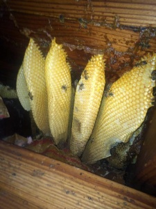 A bee-keeper moved the honeycombs we found in the upstairs walls.
