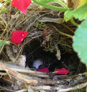 This spring my favorite bird built her nest in a basket of geraniums.