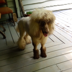 A photo of Dudley taken the same day of this post, after which we took the garden hose to that $100 hair-do.