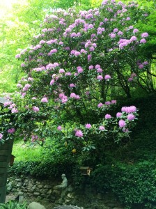 The native rhododendron in full bloom.