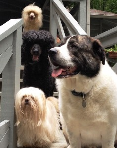 The dogs wait at the top of the steps. Top to bottom and left to right: Dudley, Dylan, Dakota and Mr. Boggs.