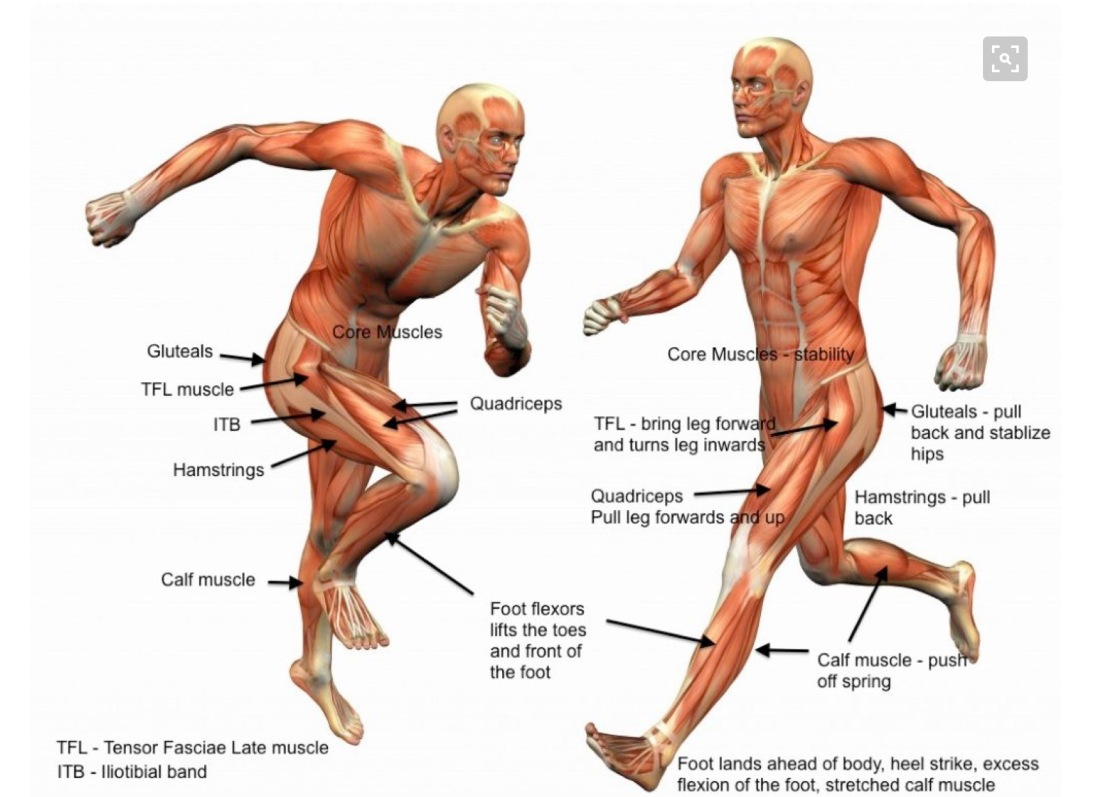 The Anatomy Of A Runner Its All About That Bass The Upper Leg